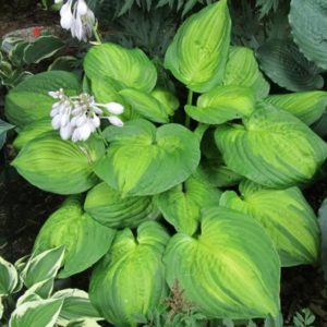 Хоста (Hosta Dance With Me BR 1e grootte)
