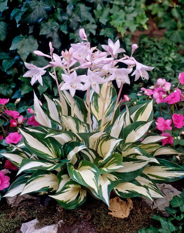Хоста (Hosta Fire and Ice BR 1N)
